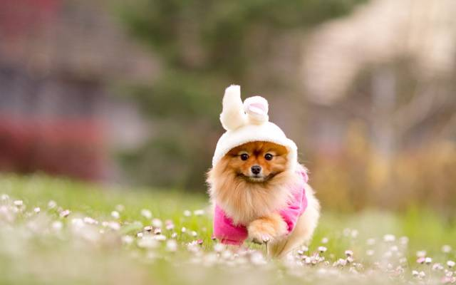 鲜花,狗,性质,红色,兔子,模糊,斯皮茨,草,服装
