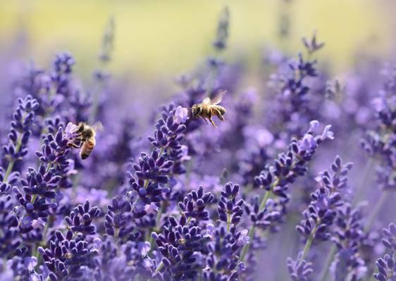 两个棕色的蜜蜂上紫色的花朵高清壁纸