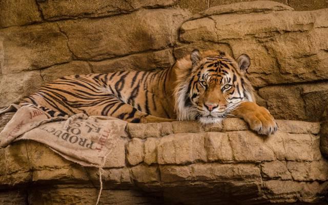 野猫,老虎,英俊,看
