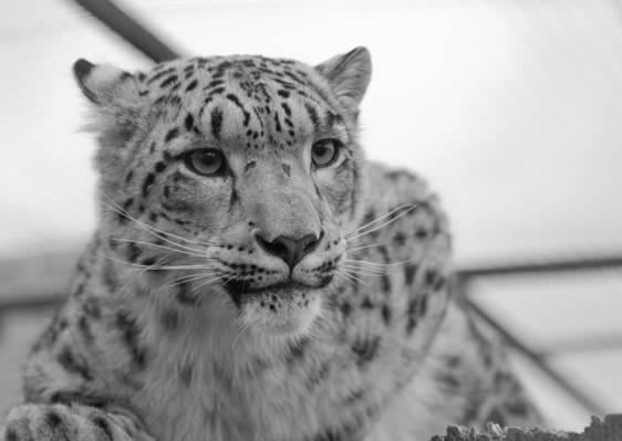 猎豹高清壁纸的灰度照片