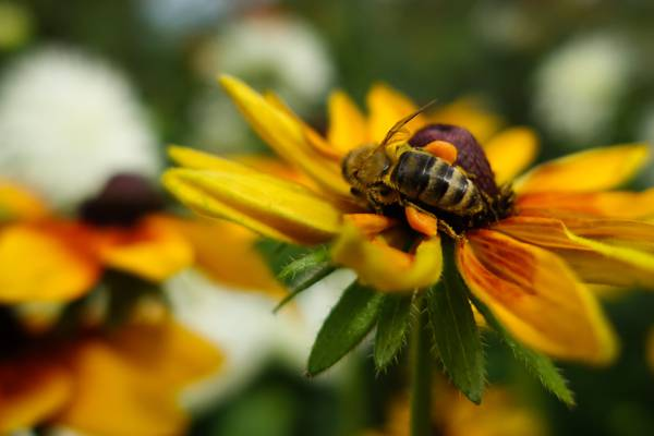 蜂蜜蜂上黄色的花朵高清壁纸