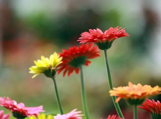 非洲菊菊花在白天高清壁纸的选择性焦点