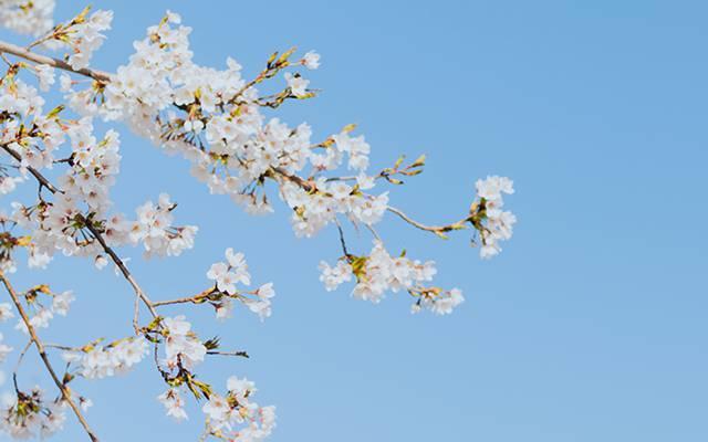 武汉小清新樱花