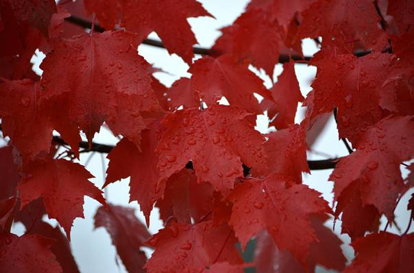 水,枫叶,滴,罗莎,秋天,雨,叶子