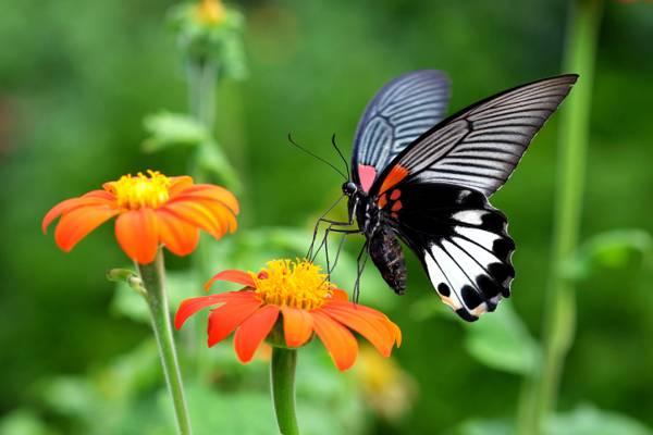 黑色和白色的特写照片蝴蝶在花高清壁纸