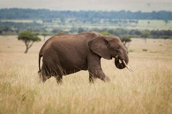 灰色的大象在草地上高清壁纸