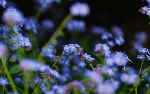 焦点,蓝色,勿忘我,鲜花,领域