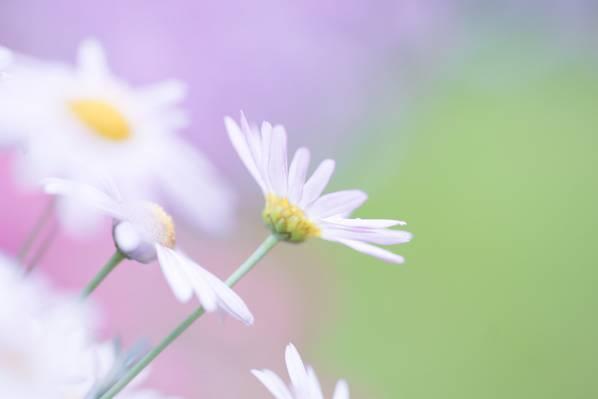 白色雏菊花卉选择性摄影高清壁纸