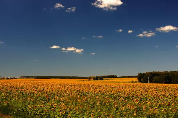 黄色的向日葵在蓝蓝的天空下,sunfield高清壁纸