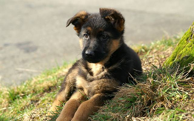 狗,草,小狗