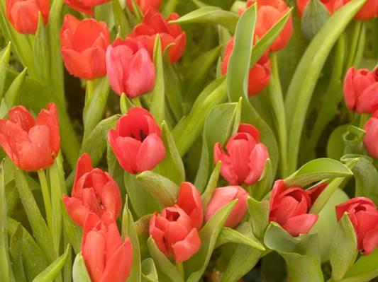 红色郁金香领域浅焦点摄影在白天高清壁纸