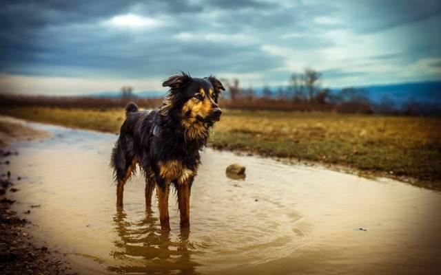 狗,水坑,澳大利亚牧羊犬