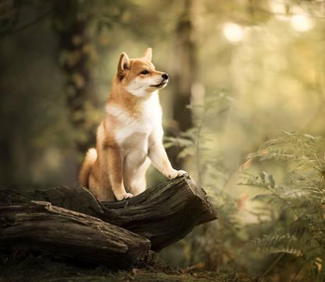 散景,断枝,芝犬犬,狗,森林