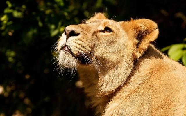 抬头,狮子,狮子,脸,掠食者