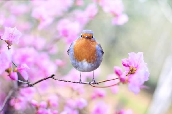 褐色和蓝色鸟栖息在粉红色的花上的选择性焦点摄影高清壁纸