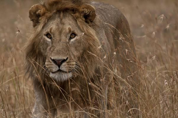 狮子走在草地上高清壁纸