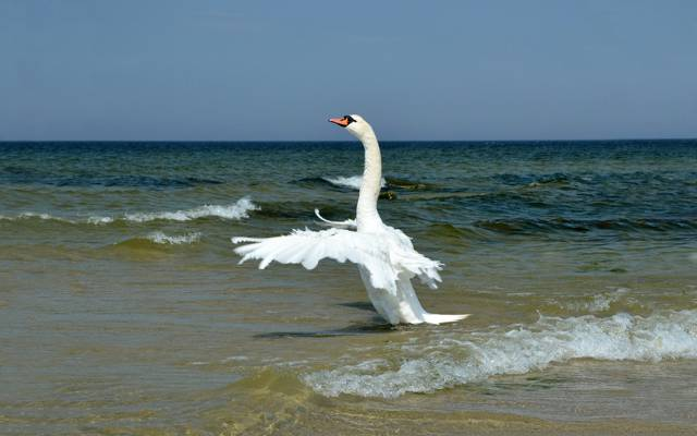WINGS,SEA,SWAN,FEATHERS,STROKE,HORIZON,SKY,SURF,WHITE,WAVE,ROLL,NECK,SHORE
