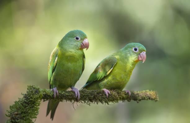 背景,鸟类,散景,分支,鹦鹉,两个