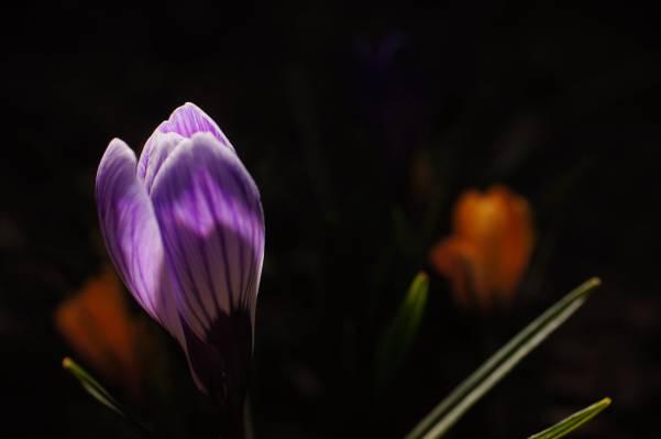 紫色的花瓣花,番红花高清壁纸