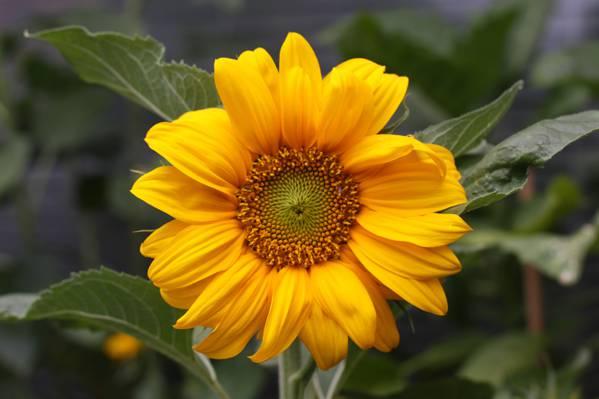 景深摄影的黄色的向日葵植物高清壁纸