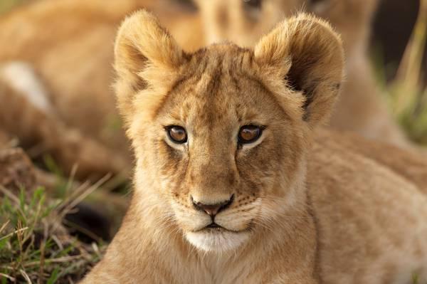 肖像,看,狮子,幼崽