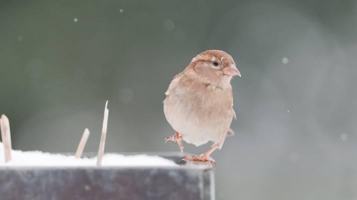 动物,羽毛,翅膀,高峰,看,背景,鸟嘴,壁纸,麻雀,鸟
