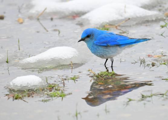 蓝鸟,山蓝鸟,seedskadee国家野生动物保护区高清壁纸