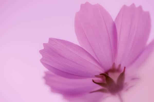 粉红色的花朵特写摄影高清壁纸