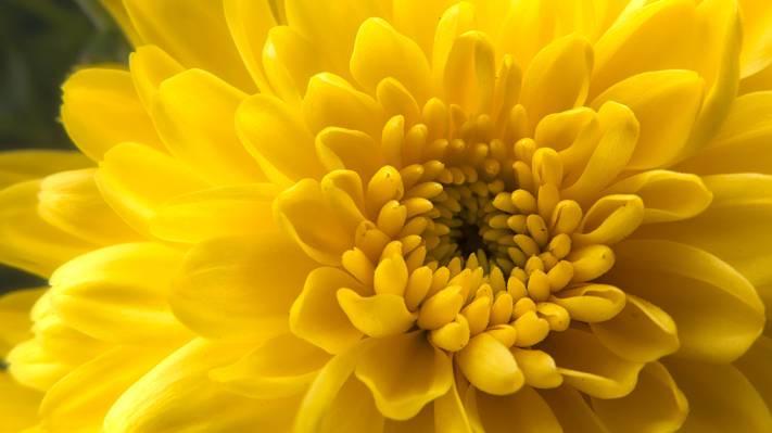 黄色大丽花花,菊花高清壁纸特写照片
