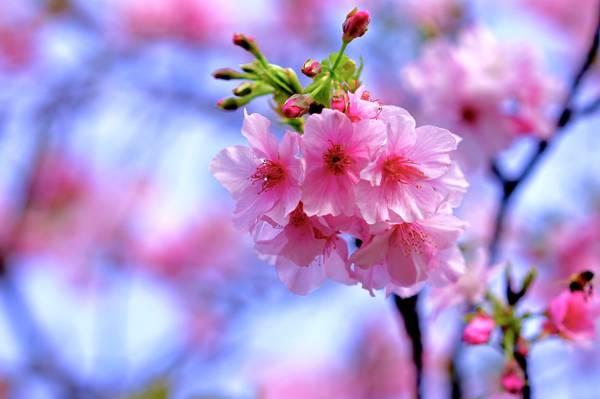 科,春天,樱花
