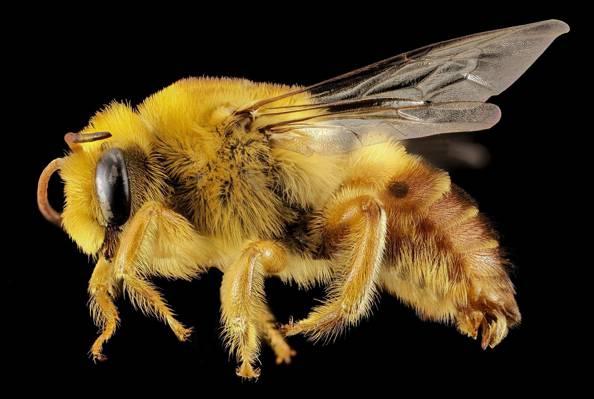 宏,翅膀,性质,头发,轮廓,眼睛,昆虫,蜜蜂