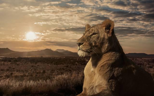 母狮,狮子座,萨凡纳,日落