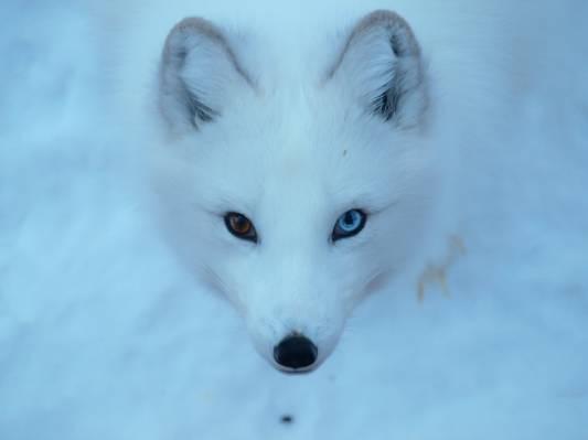 白狼,北极狐高清壁纸的照片