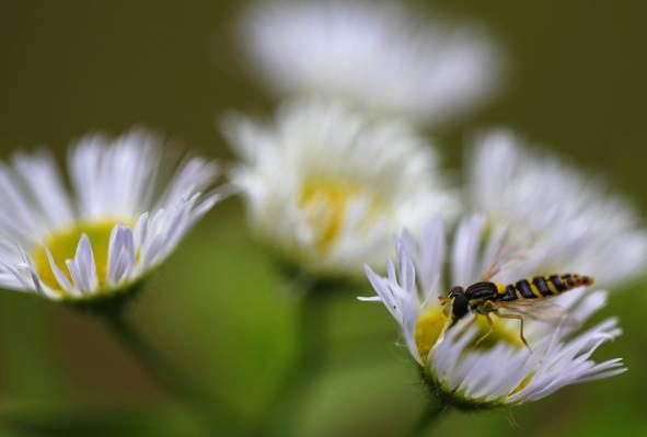 关闭了黄色和黑色的强调照片强盗飞上白色雏菊花高清壁纸