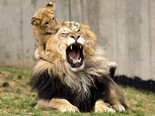 狮子,游戏,狮子座,猫