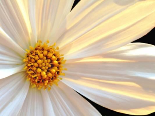 白色和棕色的花朵高清壁纸
