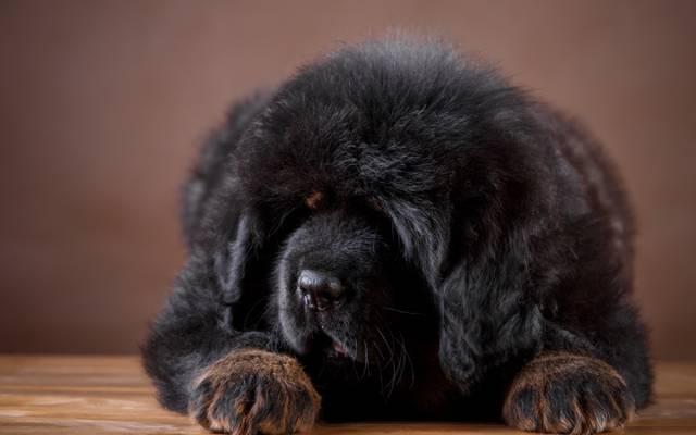 黑色,小狗,藏獒