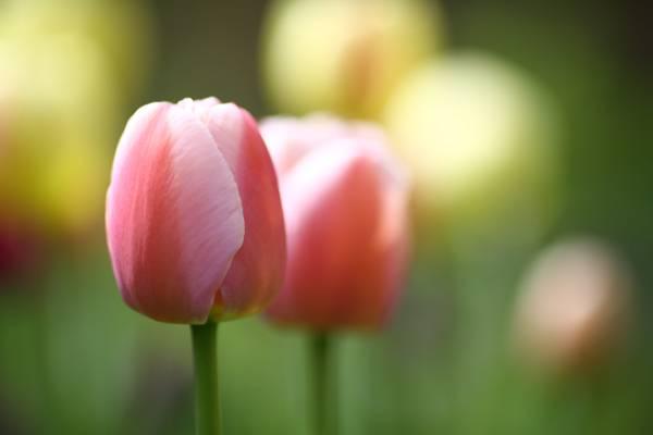 粉红色的花,郁金香高清壁纸的选择性焦点照片