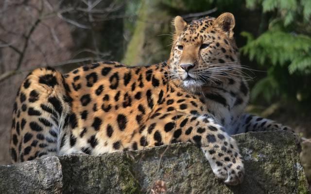 小胡子,发现,谎言,捕食者,豹,看,脸,爪子,豹,在石头上