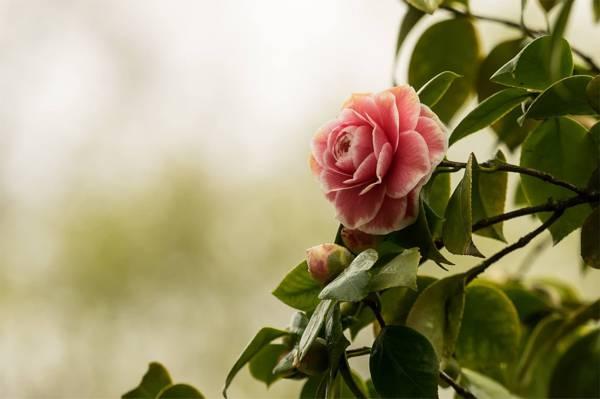 粉红玫瑰高清壁纸