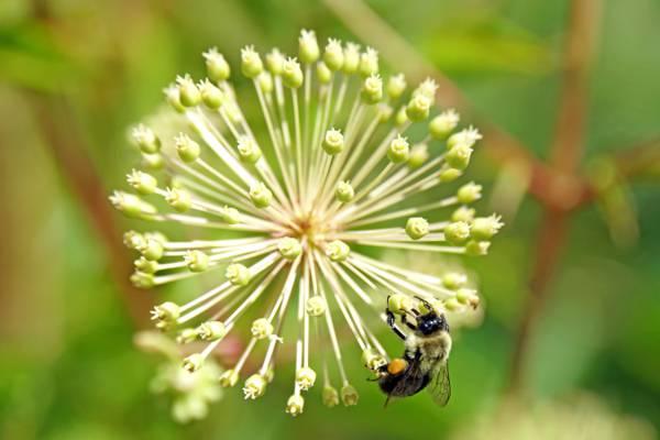 蜜蜂啜饮花果汁高清壁纸的选择性焦点摄影