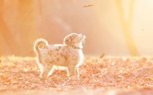 壁纸叶,秋,自然,小狗,美容,狗