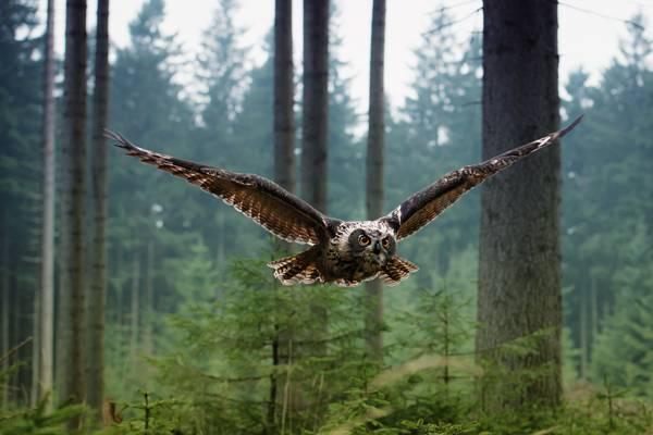 森林,飞行,鸟,猫头鹰