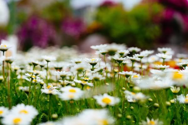散景,性质,鲜花,洋甘菊,林间空地