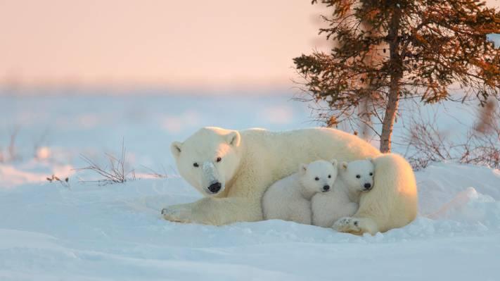 北极熊,北极熊,熊,熊