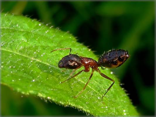 绿色的叶子高清壁纸上的蚂蚁的宏观摄影