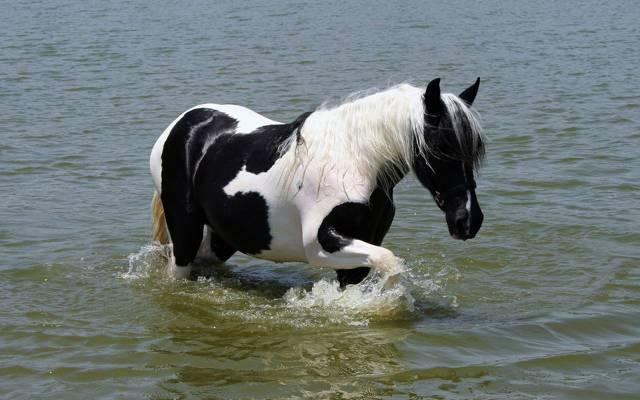 Wallpaper黑色,绘画,白色,马,马,水,尾巴