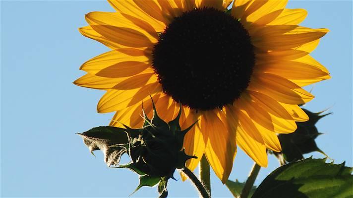关闭向日葵的照片在天时间HD墙纸