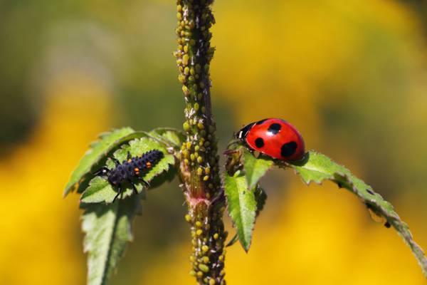 瓢虫若虫和瓢虫在选择性焦点摄影,甲虫,matsudo,千叶,日本高清壁纸