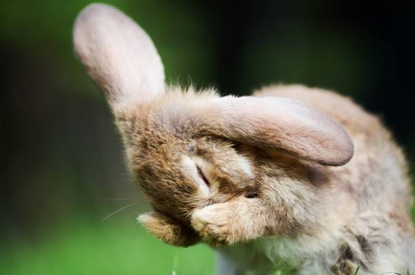 自然,背景,野兔